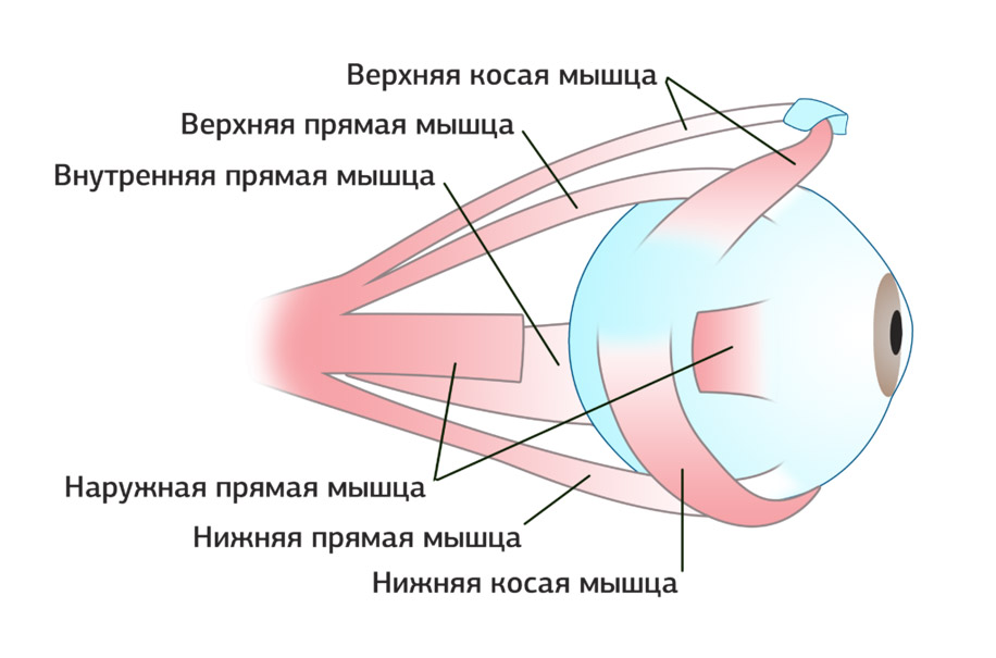 Как работают глазные мышцы