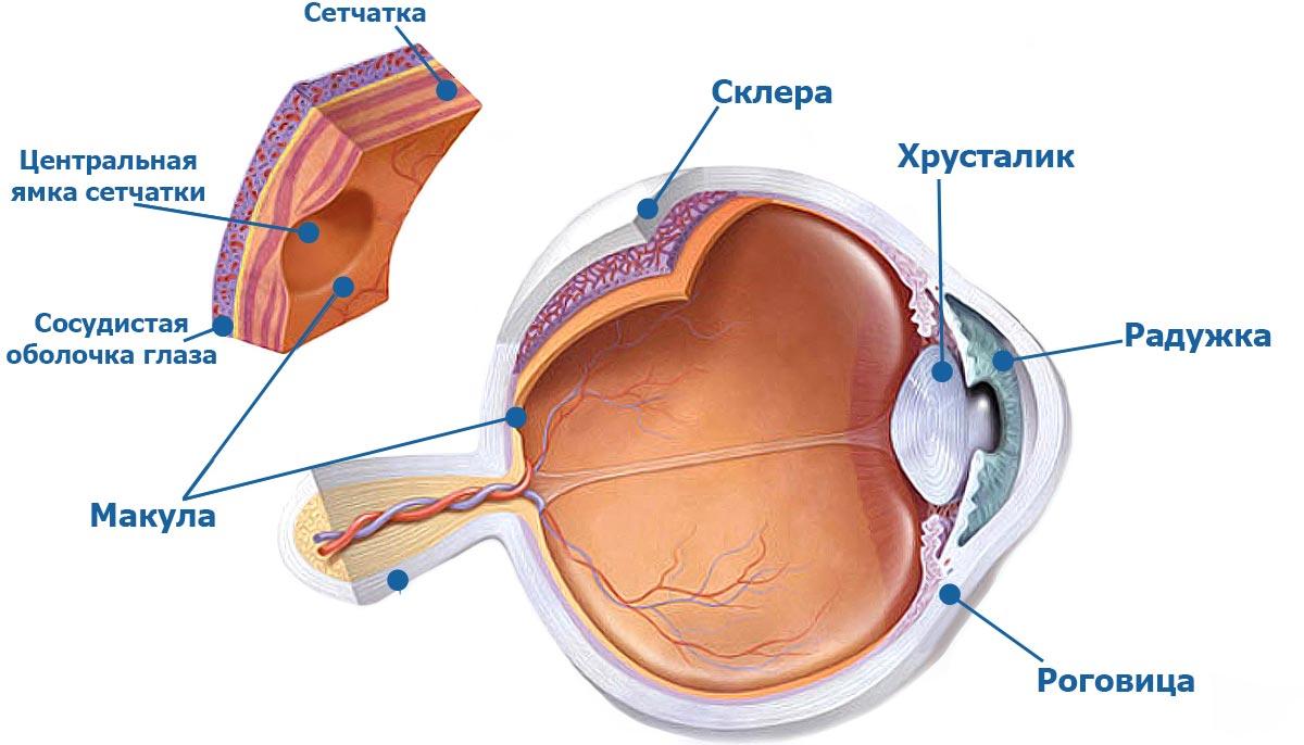 Макула (желтое пятно) — это центральная часть сетчатки глаза
